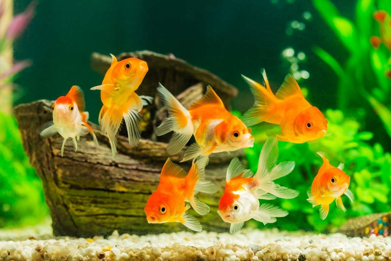 Аквариумные пресноводные рыбки