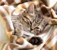 Вирусные болезни у котов